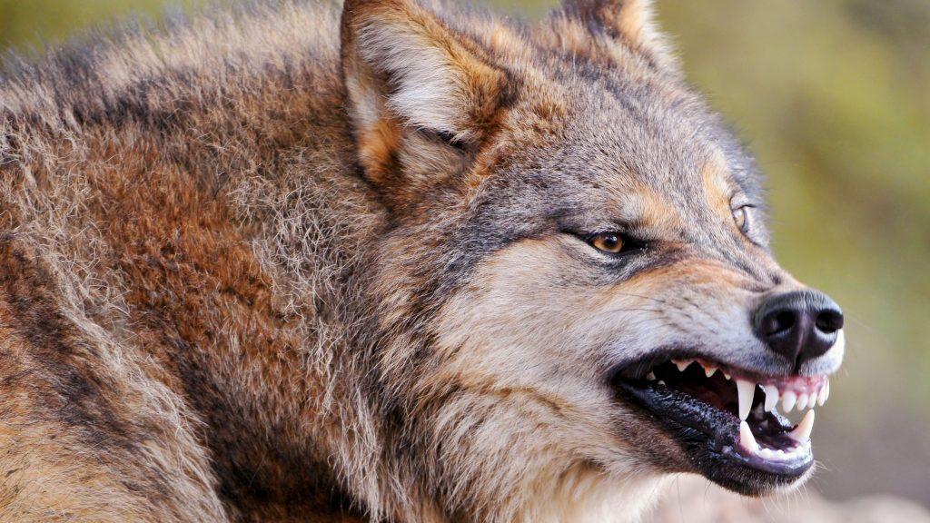 wolf face teeth aggression predator 59675 3840x2160 1024x576 - Vampirler  Büyükada Da Mı ?