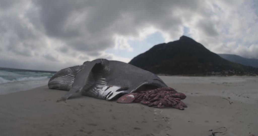 shark week megalodon hd desktop wallpaper 1024x541 - Megalodon Dev Köpekbalığı Canlanıyor mu? (Teoriler ve Belgeler)