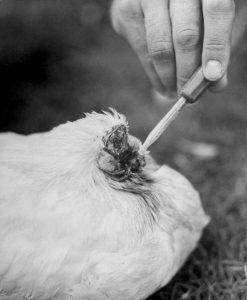 Mike the Headless Chicken2 247x300 - Mucize Mike Başı Olmadan 18 Ay Yaşayan Başsız Tavuk
