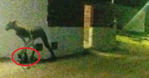 ayak2 - Arjantin de Yakalanan Yaratık Kurtadam mı?