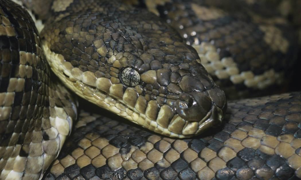 Python lead 01 1050x630 - Dev Yılanların Saldırısına Uğrayan Kabile Agta